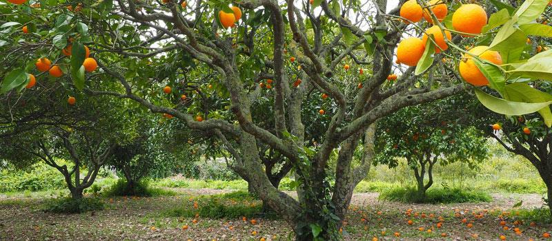 Citrus Plantation Maintenance | Patriot Site Pros Commercial Land Clearing & Mulching